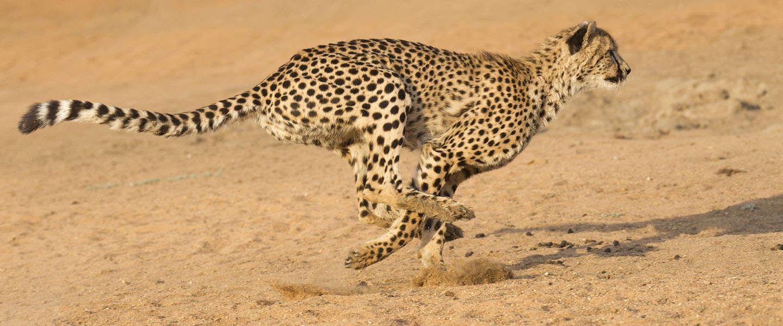 De Cheetah is nog altijd sneller dan menig supercar