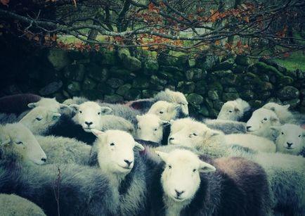 Als er één schaap over de dam is.....