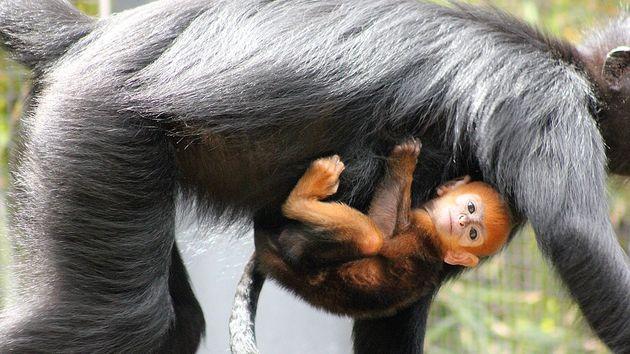 nangua-monkey