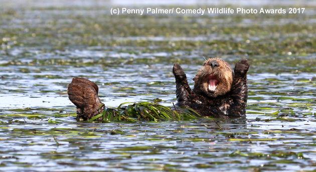 Penny-Palmer_Cheering-sea-otter_00002018