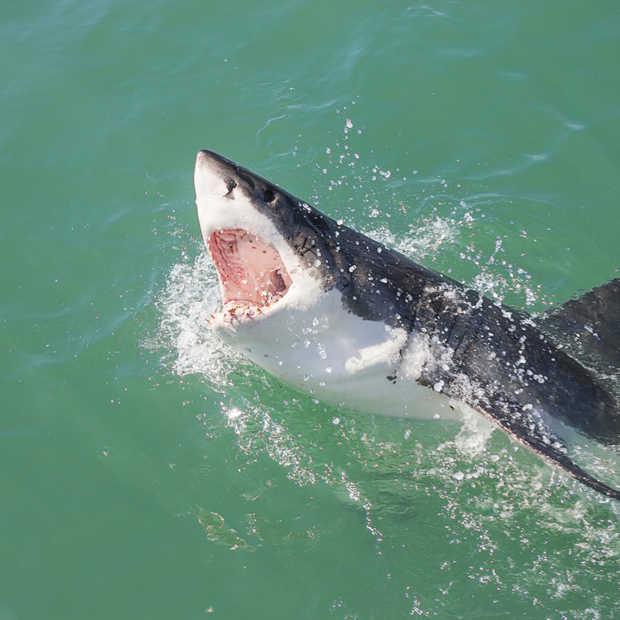 In Nederland zwemmen met witte haaien