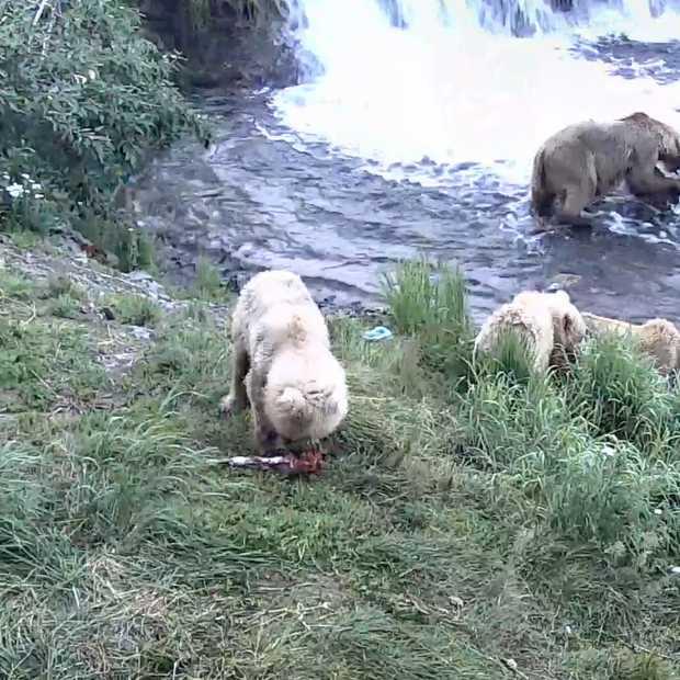 Google Earth Live: kijk real time naar bruine beren in Alaska