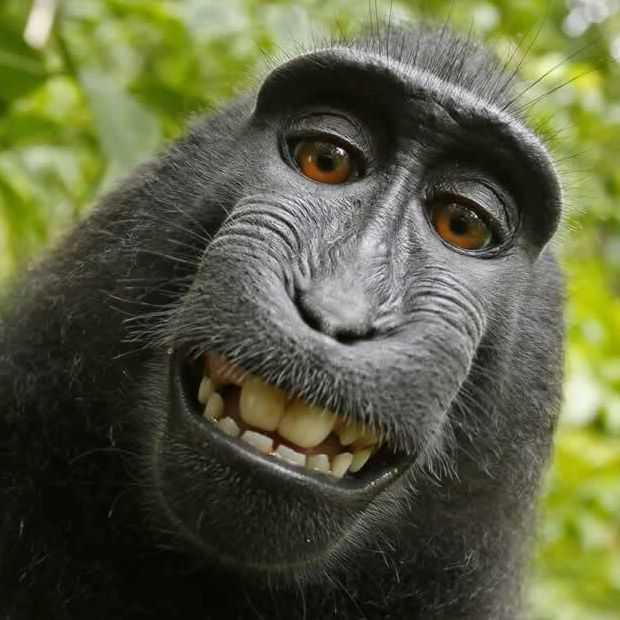 Apen hebben geen auteursrecht, maar verdienen wel aan aap-selfie