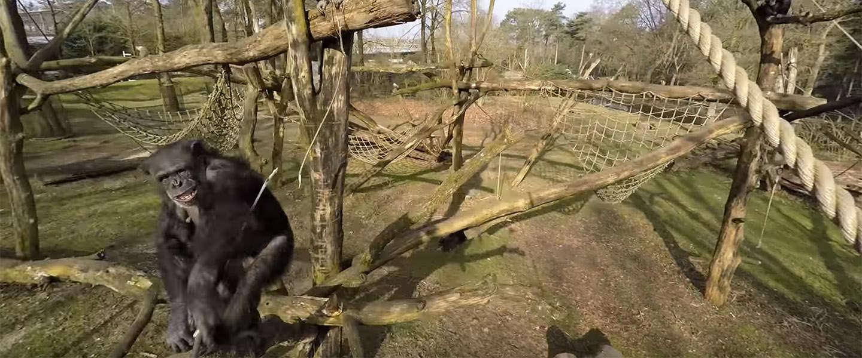 Drone Video van het Jaar 2015: een brutale aap uit Burgers' Zoo