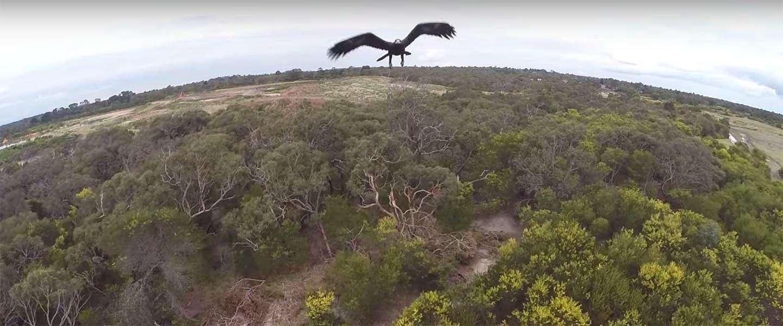 Arend versus Drone ; 1-0 [video]