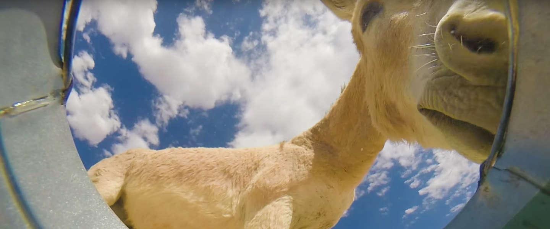 Viral video: verborgen camera in emmer water ziet veel bezoek