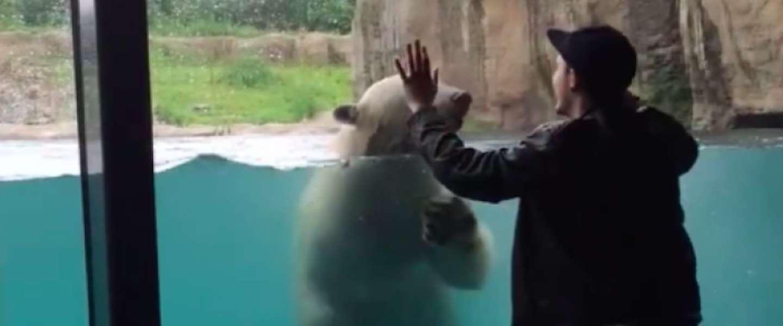 IJsbeer in Diergaarde Blijdorp gaat viral met grappig filmpje