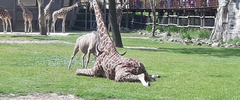 Battle tussen koedoe en giraffe in Blijdorp