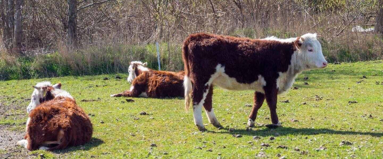 India waarschuwt dat koeienstront niet beschermt tegen COVID-19