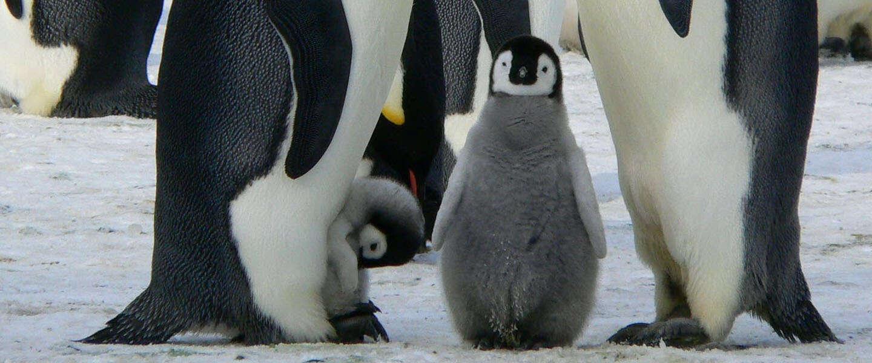 Goed Nieuws Vrijdag: meer pinguïns, Project Power en kantoorlawaai voor eenzame thuiswerkers