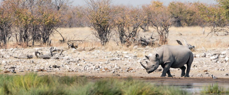 Nederlandse sensoren moeten neushoorns in Tanzania gaan redden