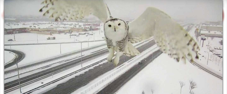 Prachtige witte sneeuwuil vastgelegd door verkeerscamera