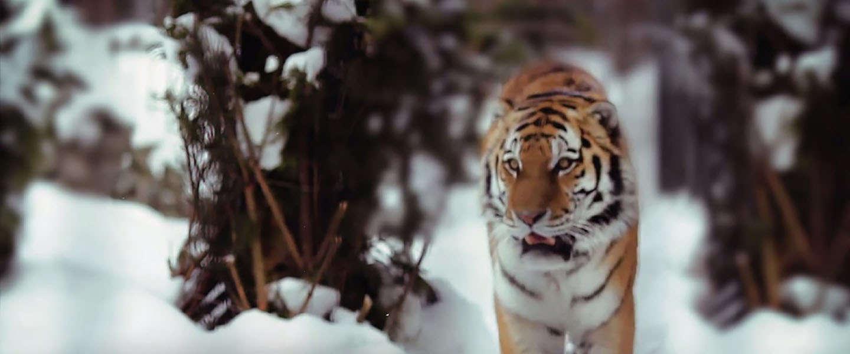 Het WWF daagt je uit met de Tiger Challenge! #Run4Tiger