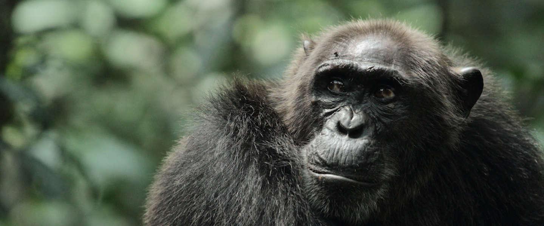 Warrior Apes in het echt, documentaire over 20 jaar chimpansees