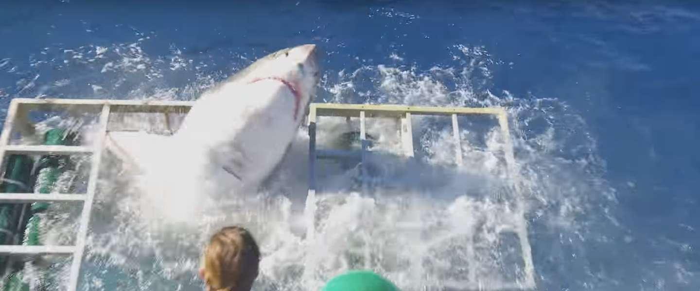 Viral video: witte haai breekt door kooi met duiker