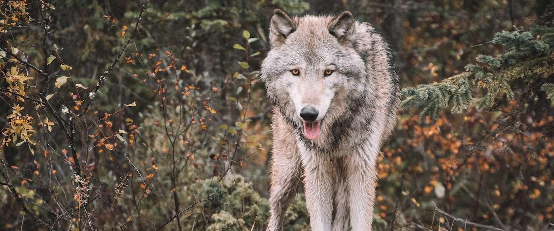 Goed Nieuws: versoepelingen, nog meer wolven en Songfestival-stemmers krijgen geld terug