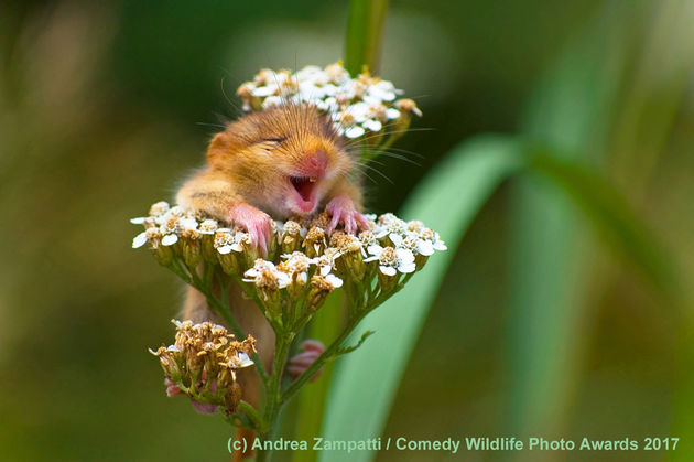 Andrea-Zampatti_The-laughing-dormouse_00001732