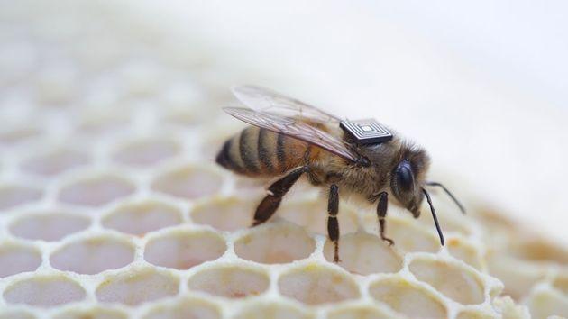 bee-backpack