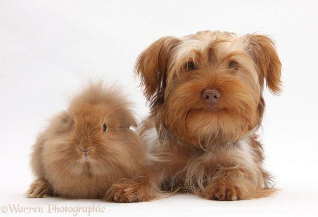 cavia-hond-familie