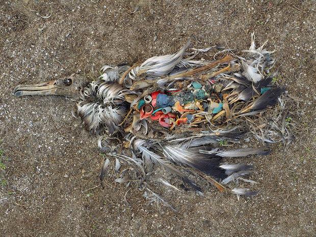 dode albatros