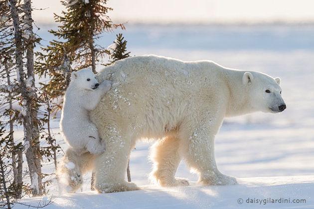 ijsbeer1-1