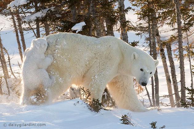 ijsbeer3-1