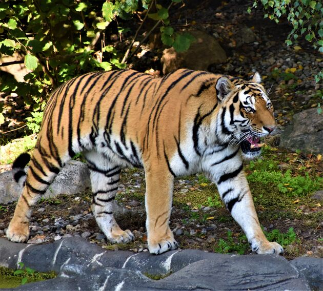 Kat tijger