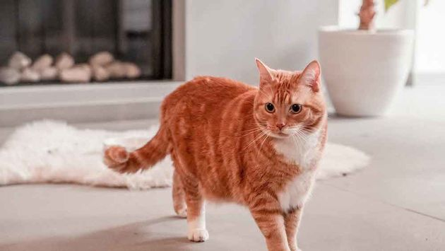 Kattenwebshop-poezenbazen-Poezenbaas-Rode-Kater-Gin