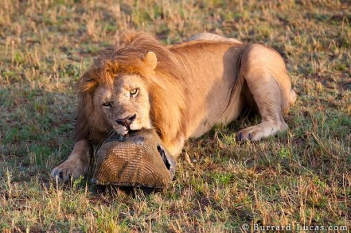 lion_biting_beetlecam