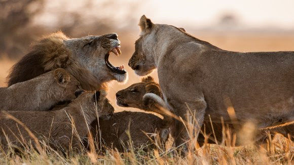 lions nat geo