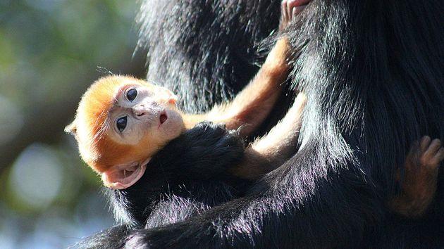 orange-monkey-born-sydney