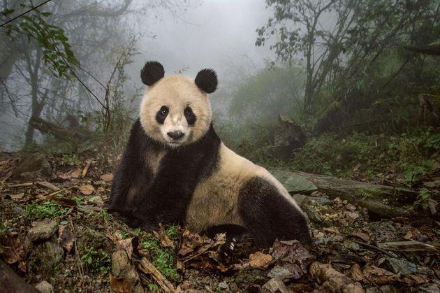 panda.adapt.1900.1