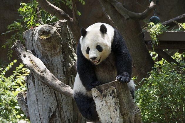 panda-ouwehands-dierenpark