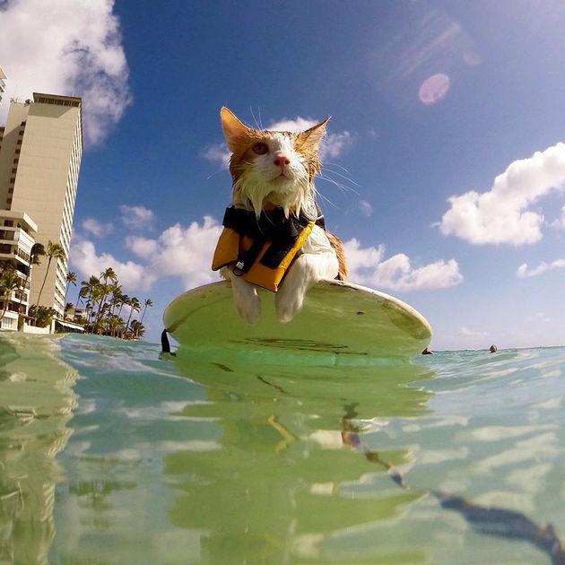 surfing-cat-likes-water-swimming-kuli-hawaii-4