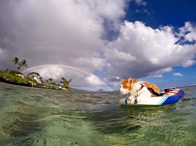 surfing-cat-likes-water-swimming-kuli-hawaii-9