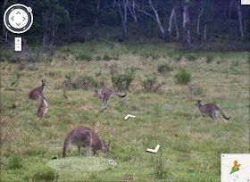 SV mock kangaroos grazing