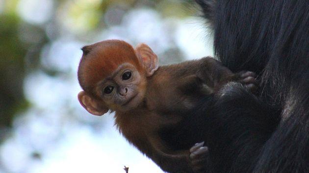 sydney-monkey-born