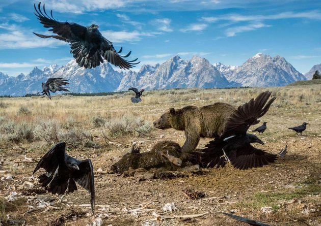 teton-grizzly-feeding.adapt.1900.1