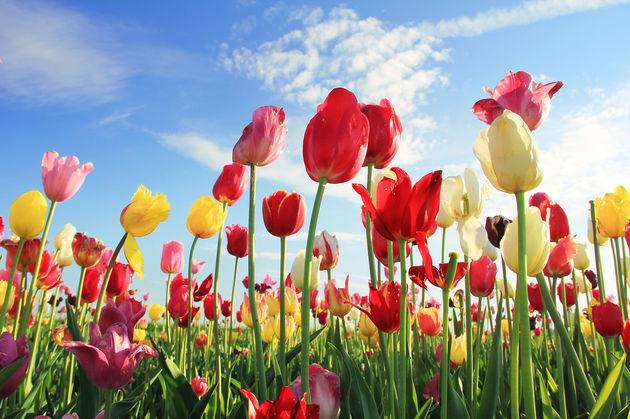 tulpen-nederland