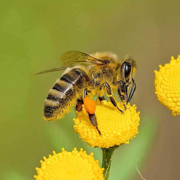 Bijenstichting wil meer online bewustwording rondom bijen