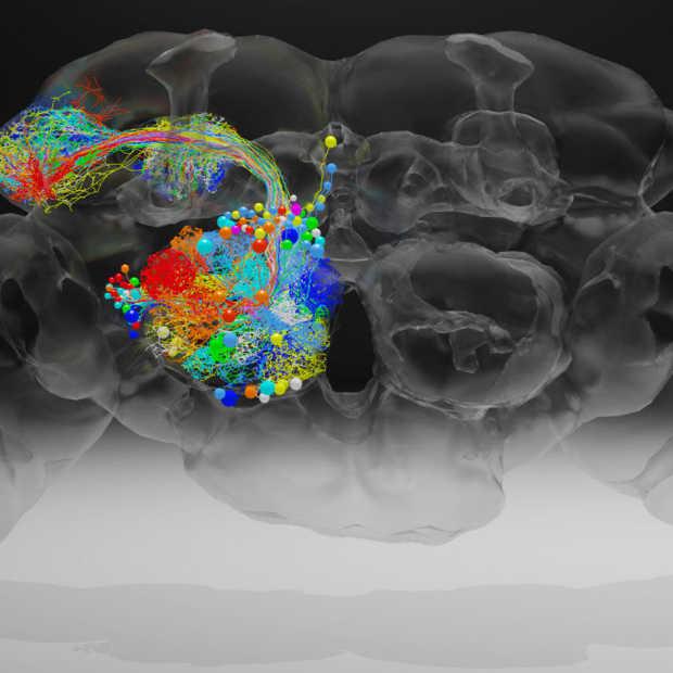 Hoe kan de fruitvlieg helpen bij hersenonderzoek?