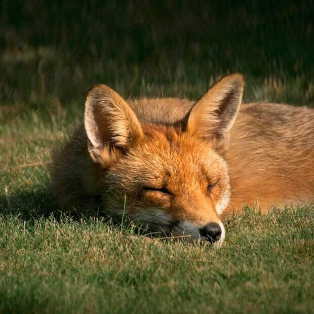 Fox on the run? Gebruik Firefox blijft dalen