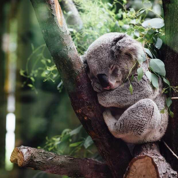 Goed nieuws: Google voorspelt verlanglijstjes, koala in kerstboom en blind buiten hardlopen