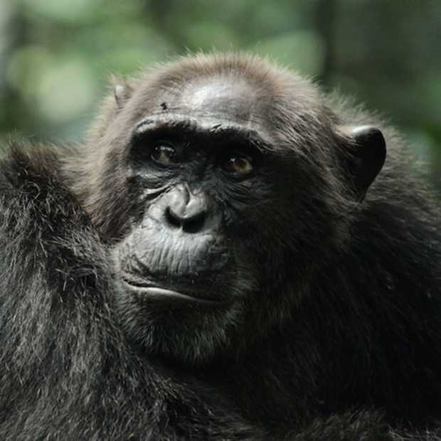 Warrior Apes in het echt, documentaire over 20 jaar chimpansees