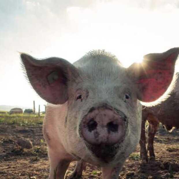Huawei gaat AI ontwikkelen voor de varkenshouderij