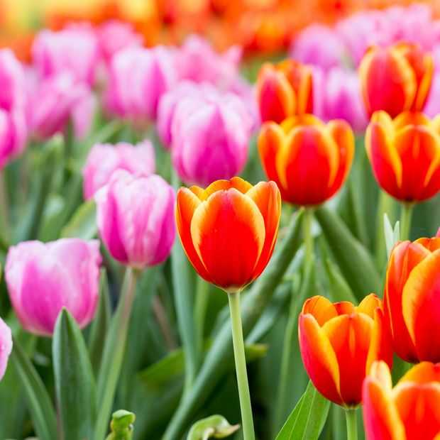 Nationale tulpendag: tulpen scoren wereldwijd de pan uit