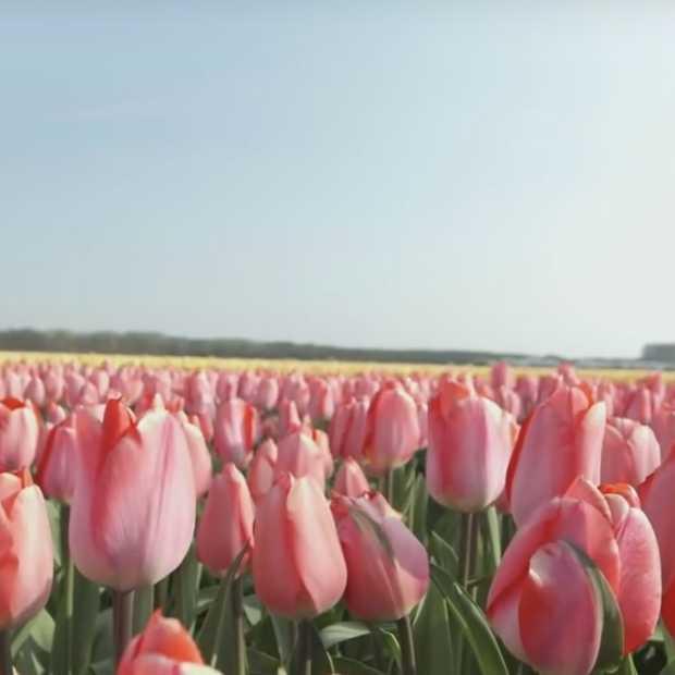 Bureau voor Toersime waarschuwt toeristen om niet op tulpen te trappen