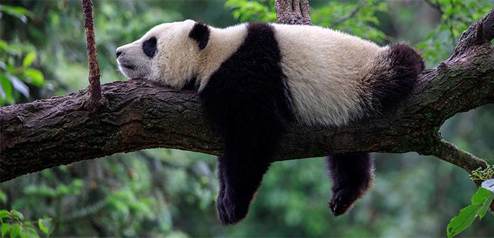 China ontwikkelt een gezichtsherkenningapp voor panda's